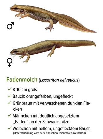 Freistellung - stb_Fadenmolch.jpg