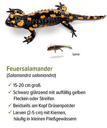 Freistellung - stb_Feuersalamander.jpg