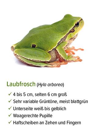 Freistellung - stb_Laubfrosch.jpg