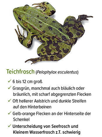 Freistellung - stb_teichfrosch.jpg