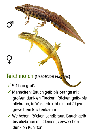 Freistellung - stb_teichmolch.jpg